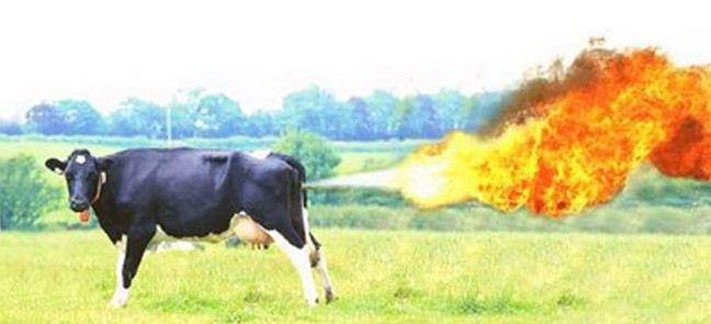 ninety-farting-cows-start-major-fire-and-suffer-burns1